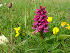 Flower on the machair